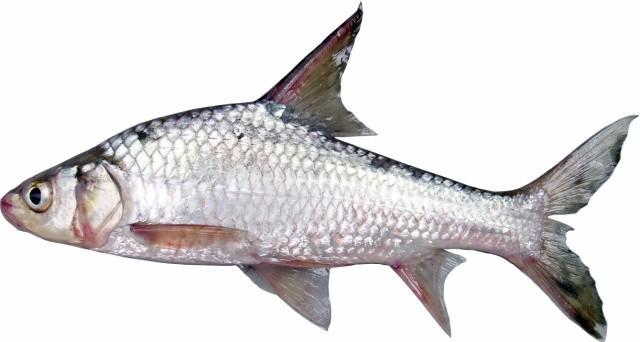 cá cóc