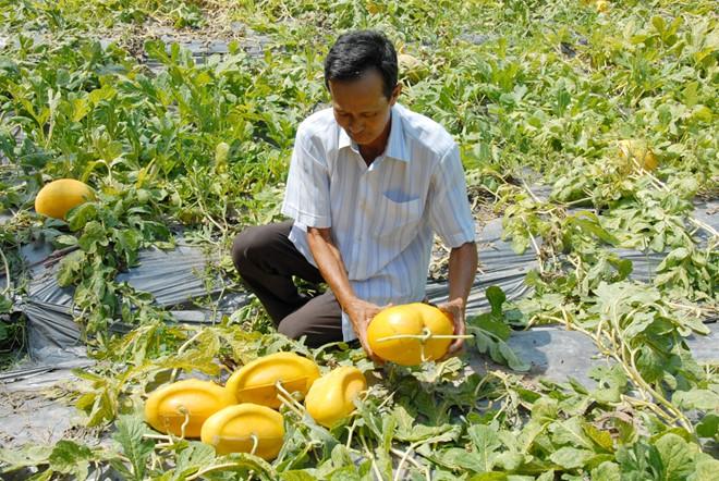 Mỗi năm, vườn dưa 600 m2 của ông Liêm cho thu hoạch khoảng 300 cặp dưa hấu thỏi vàng đạt chất lượng