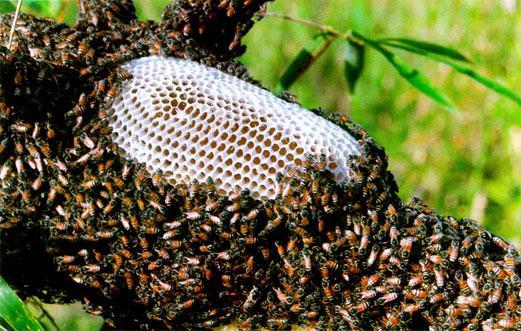 Bắt ong ruồi